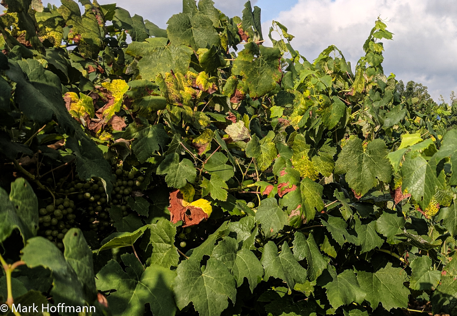downey mildew on a grape canopy