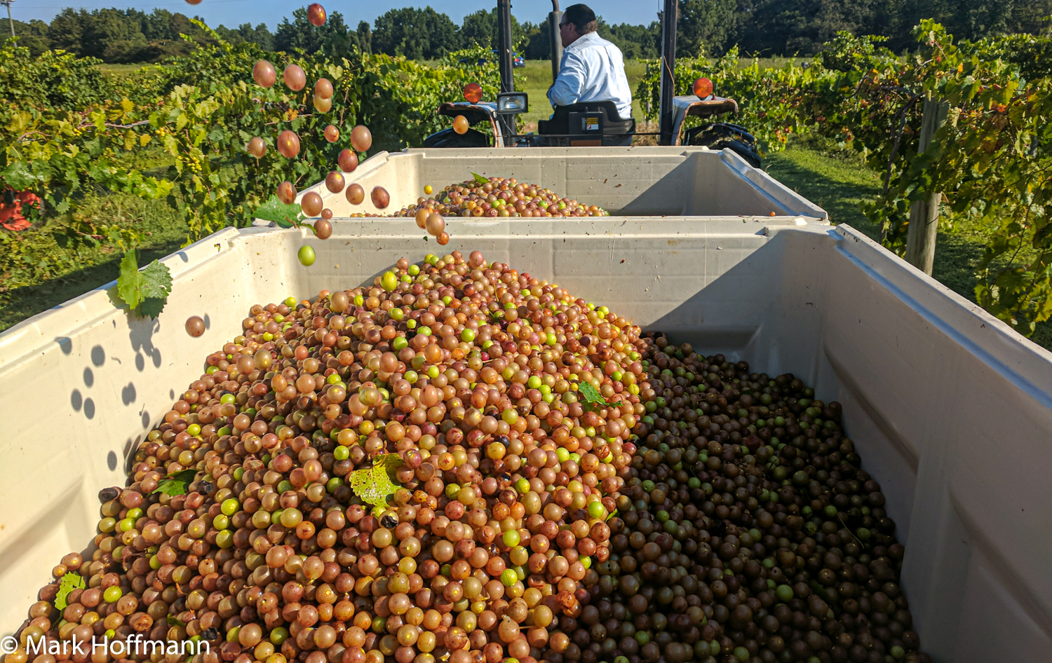 Mechanica muscadine harvest