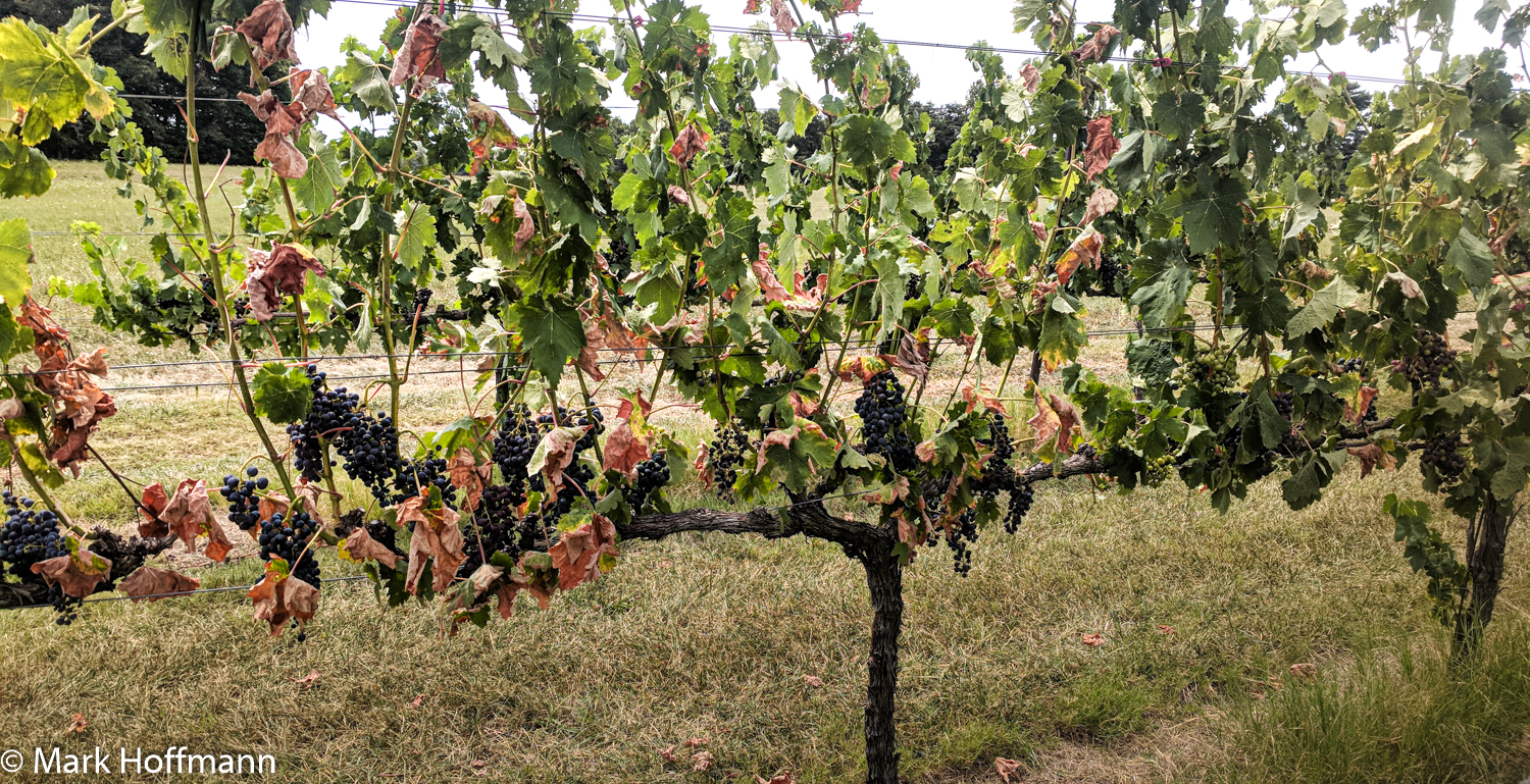 Pierce's disease on vines